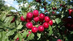 Saherry apples